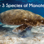 The 3 Species of Manatees