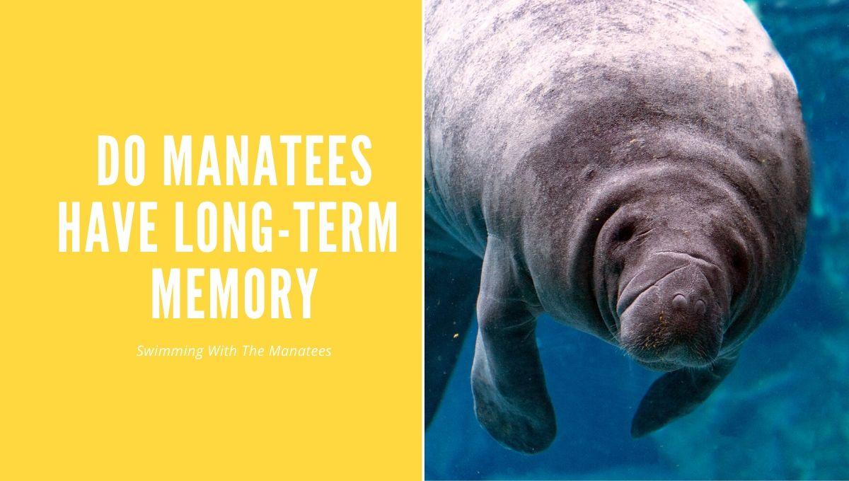 Do Manatees Have Long-Term Memory