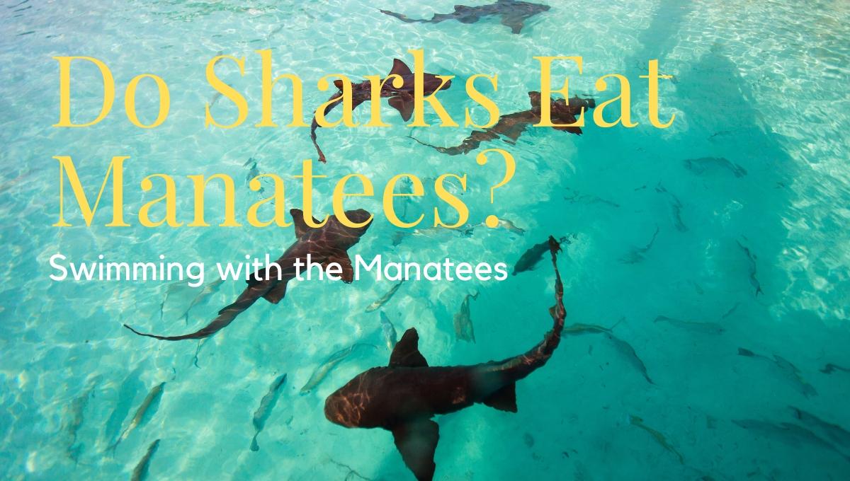 Do Sharks Eat Manatees?