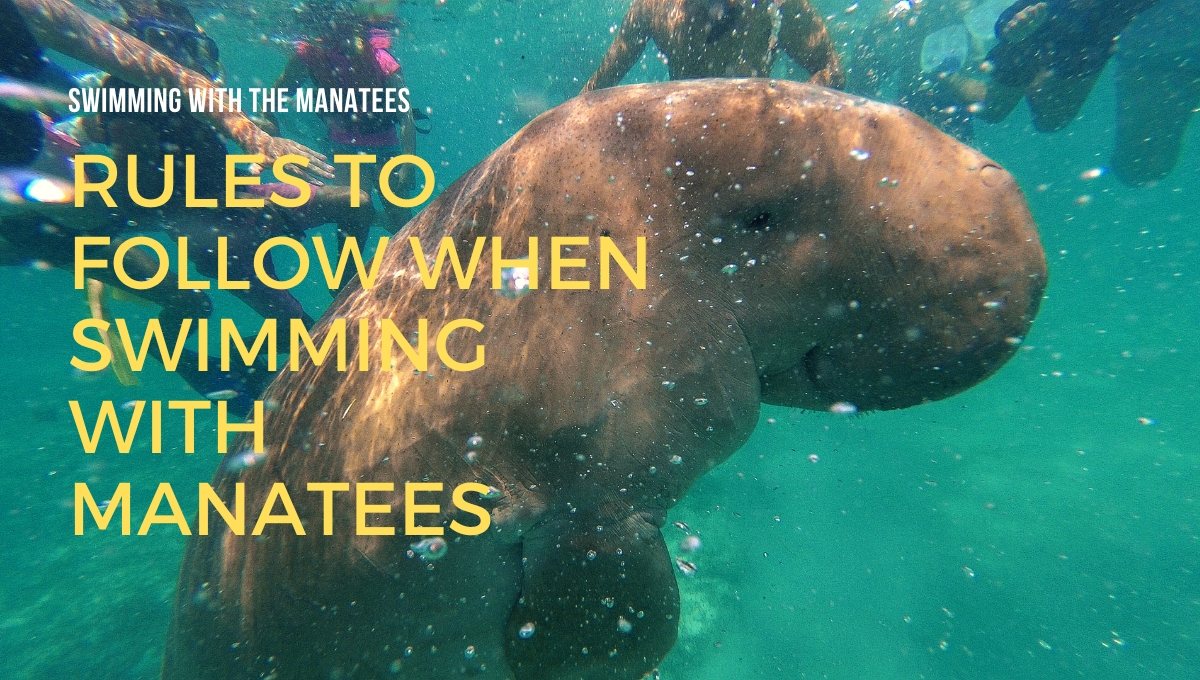 Rules to Follow When Swimming With Manatees