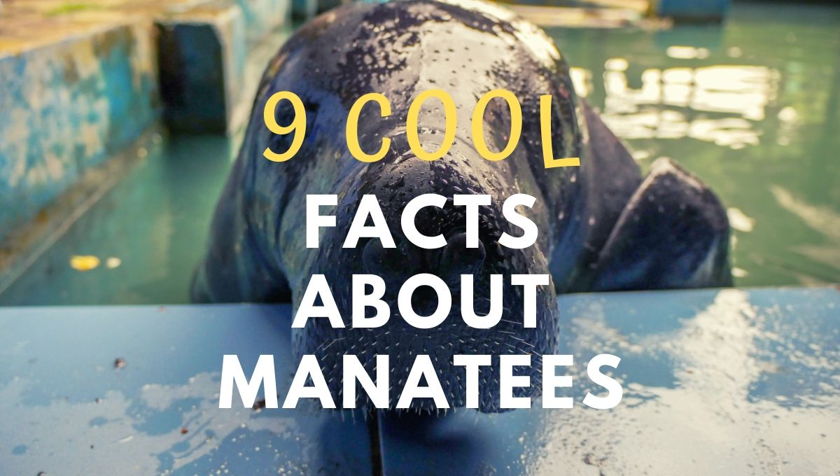 9 Cool Facts About Manatees