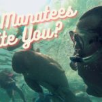 Can Manatees Bite You?