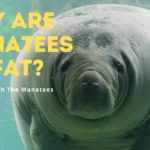 Why are manatees so fat?