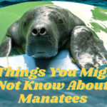 5 Things You Might Not Know About Manatees