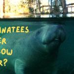 Do manatees prefer shallow water?